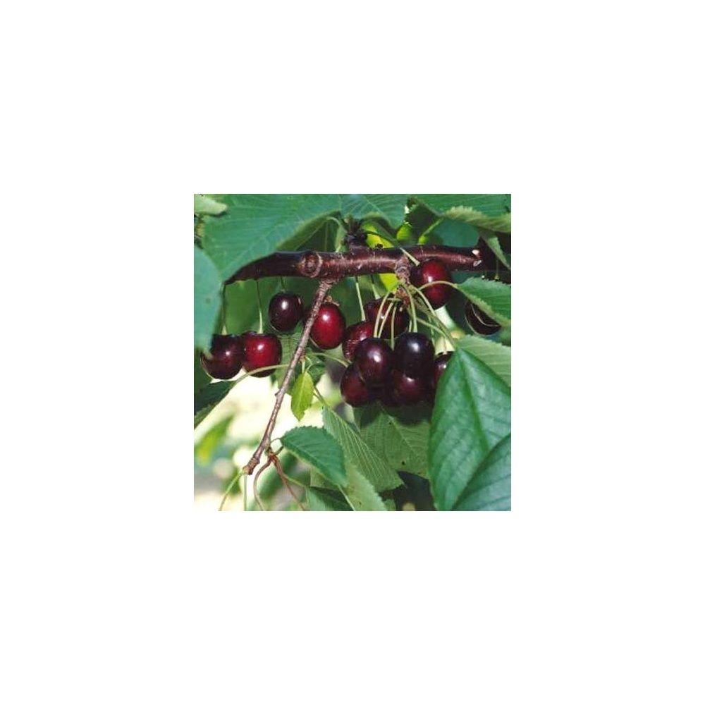 Cerisier 'Bigarreau Géant d'Hedelfingen' : taille en quenouille, pot de 10 L