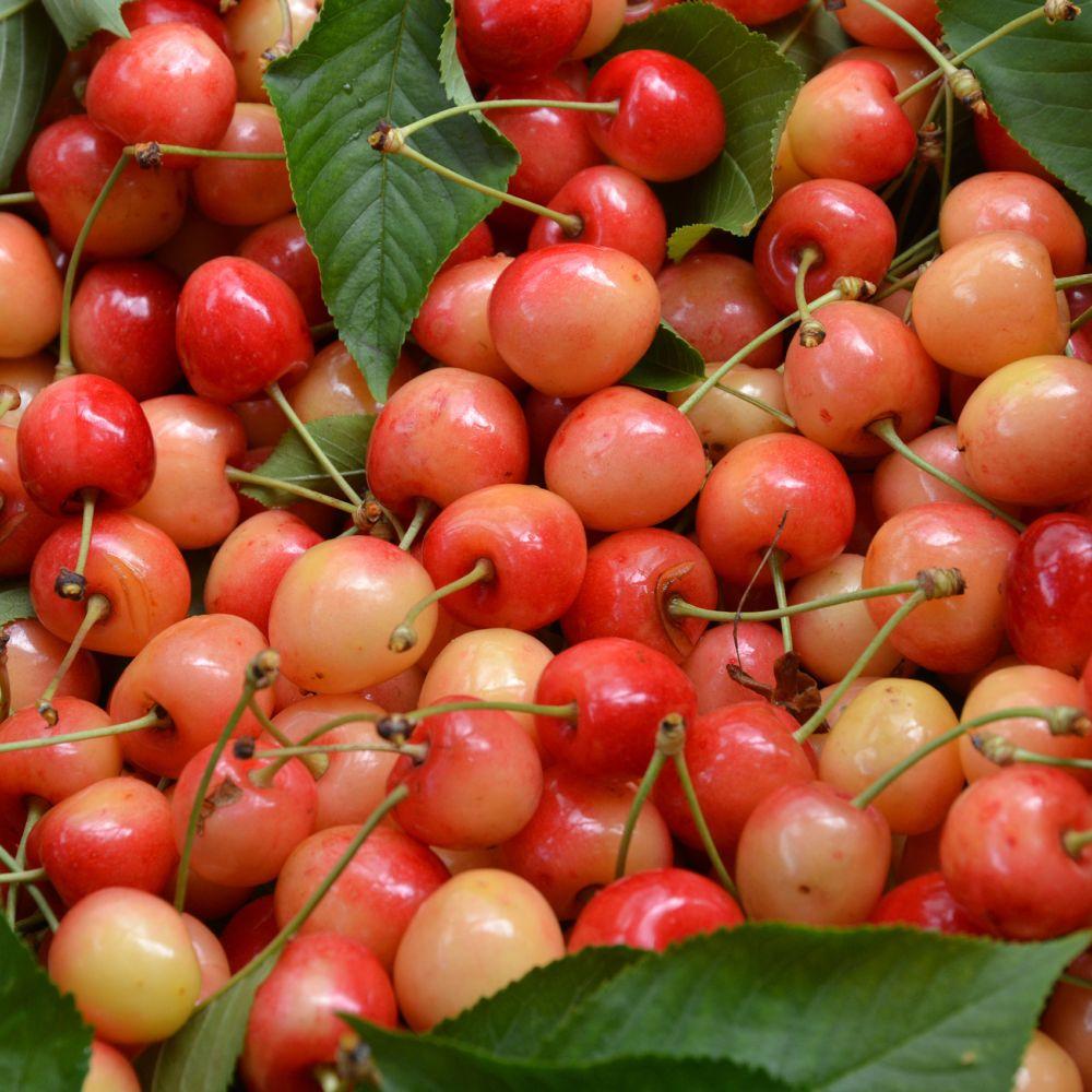 Cerisier 'Bigarreau Napoléon' : taille en quenouille, pot de 10 L