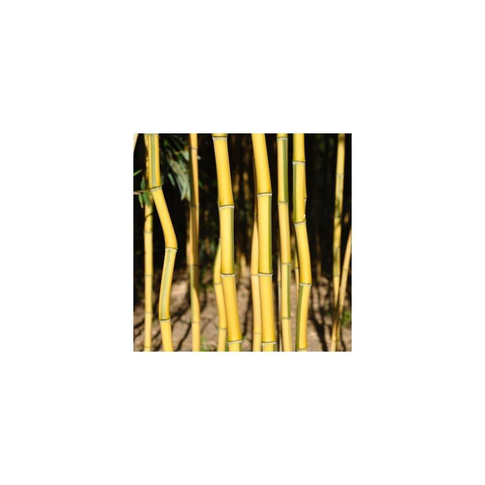 Bambou moyen : Phyllostachys aureosulcata 'Spectabilis' - SURREF
