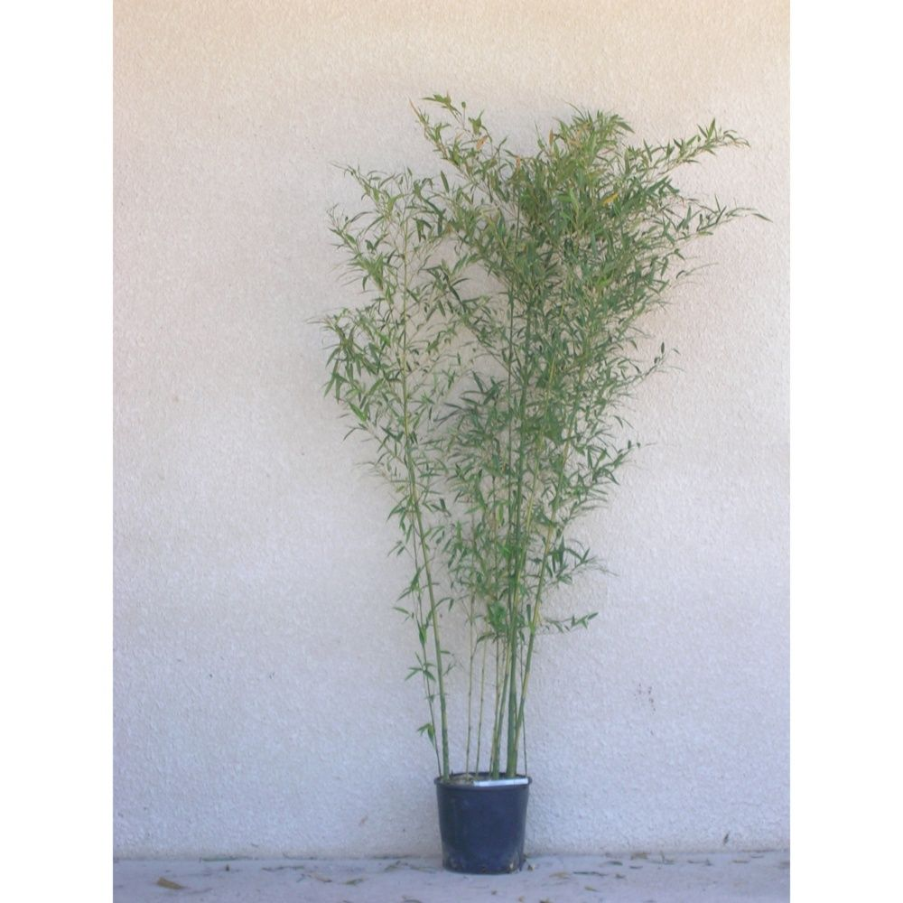 Bambou moyen : Phyllostachys aurea 'Flavescens inversa'
