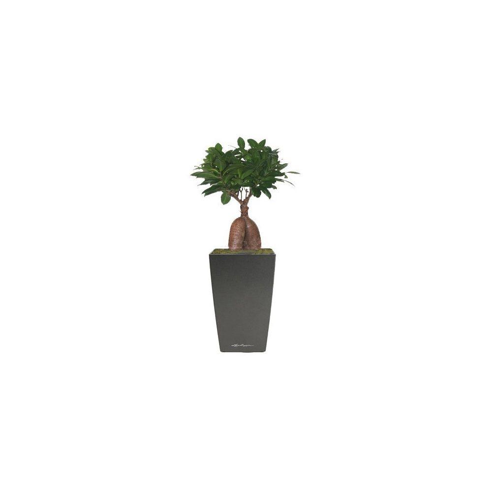 Ficus Ginseng + rempotage maxi-cubi