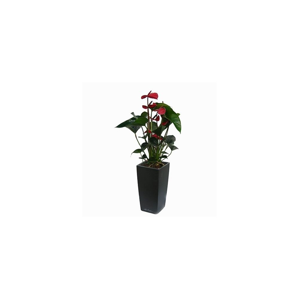 Anthurium rouge + rempotage maxi-cubi