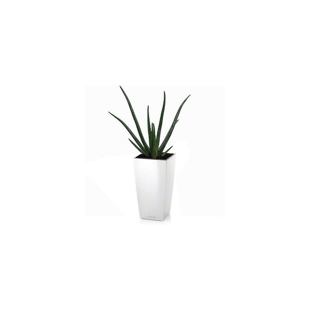 Aloe vera + rempotage