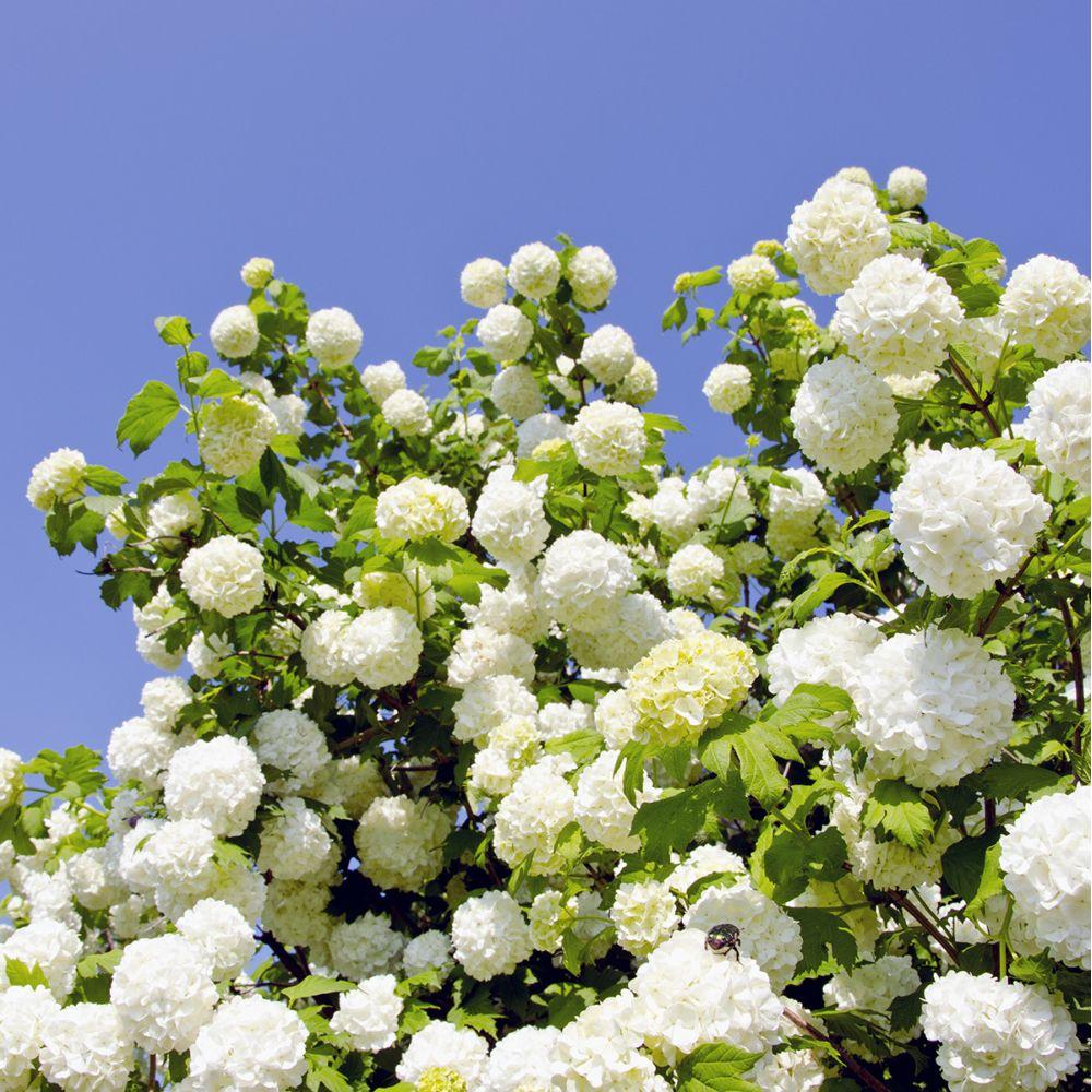 Viorne ou Viburnum Boule de neige 'Roseum'