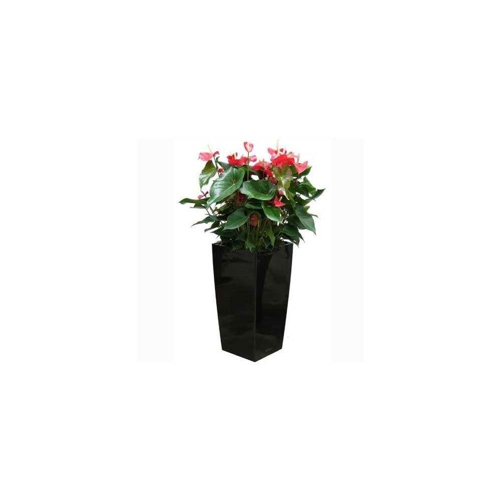 Anthurium rouge x 3 en pot noir Lechuza (H.100cm)