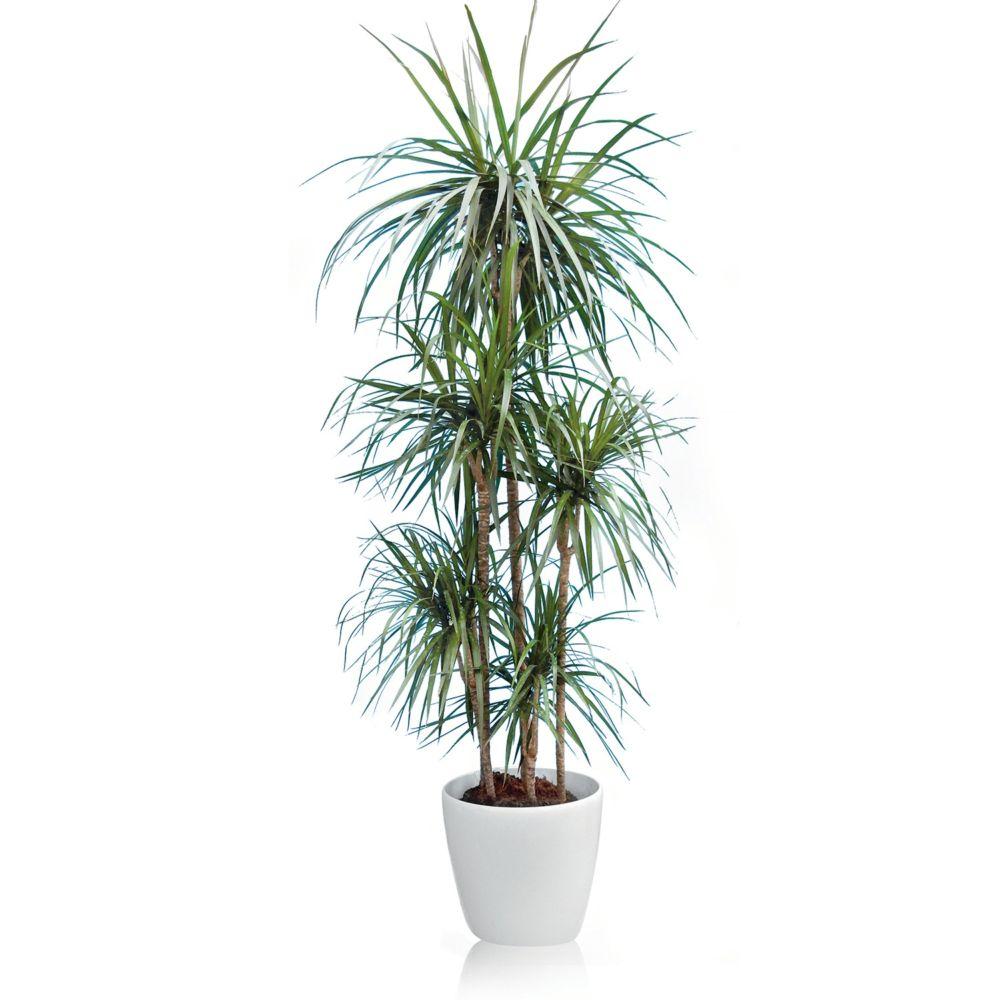 Plante Haute En Pot dracaena marginata 5 pieds rempoté dans pot lechuza classico premium 35  blanc brillant