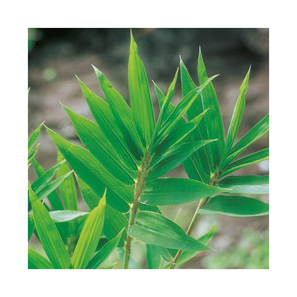 Bambou nain : Pleioblastus distichus