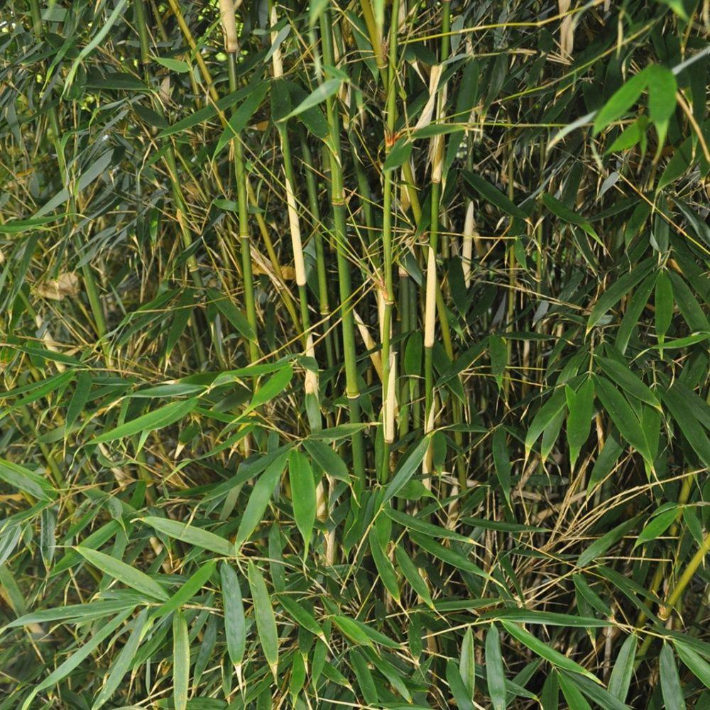 Bambou moyen : Fargesia 'Pingwu'