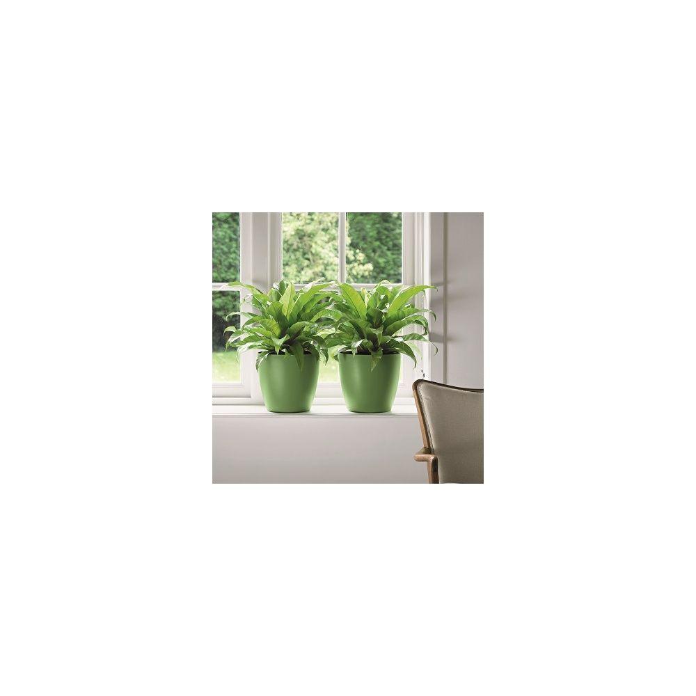 Fougère Asplenium nidus