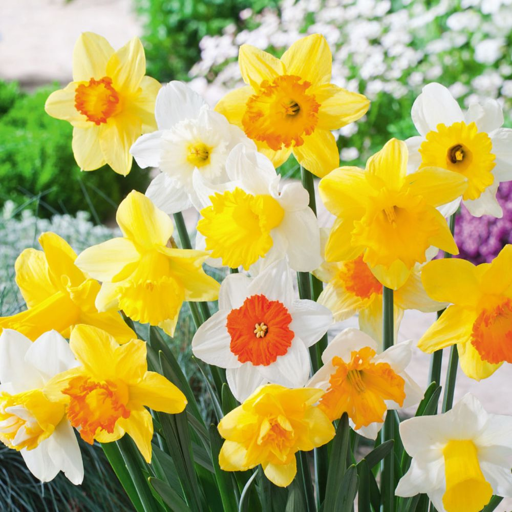 Narcisses variés (lot de 50 bulbes)