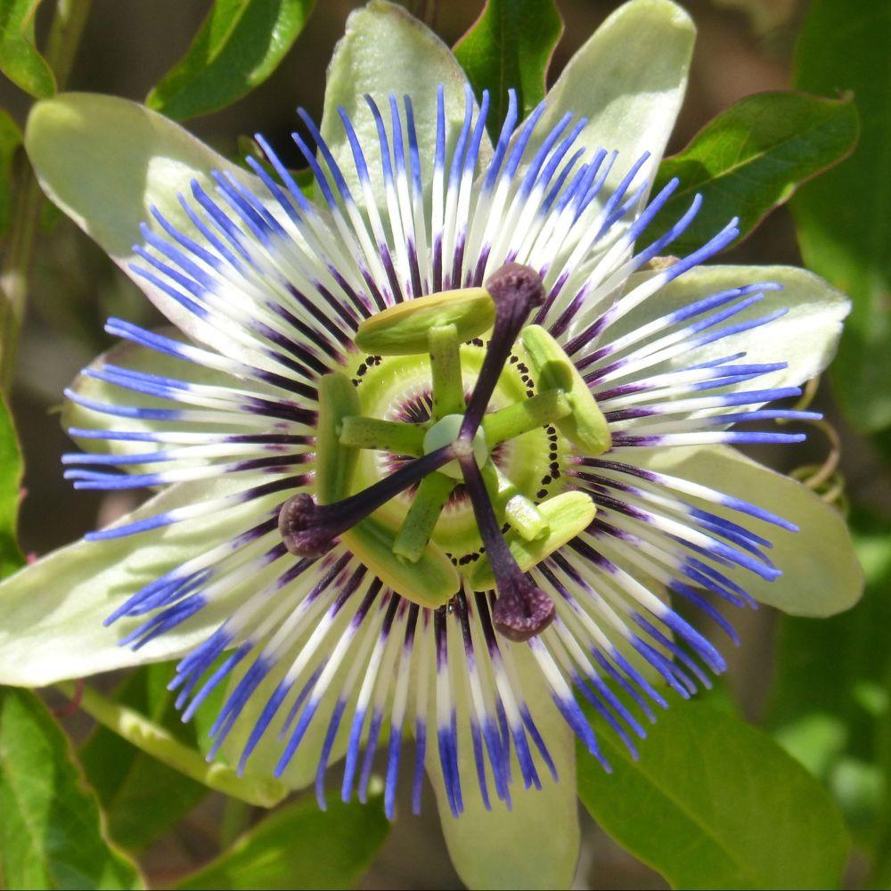Passiflore 'Caerulea'