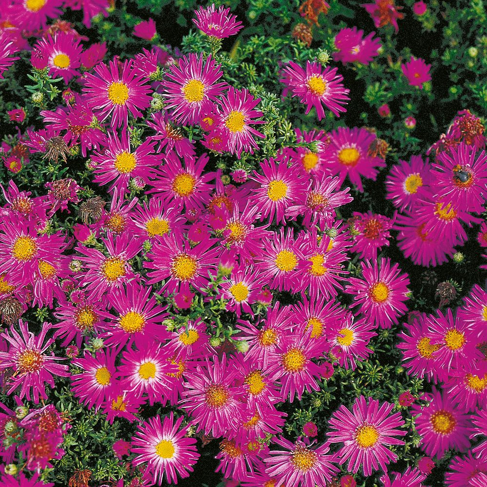 Aster nain d'automne 'Alice Haslam'