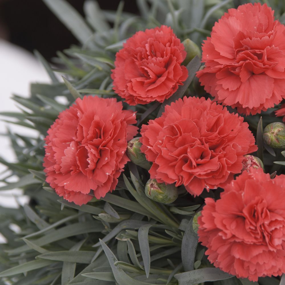 Dianthus mignardise plumarius diane