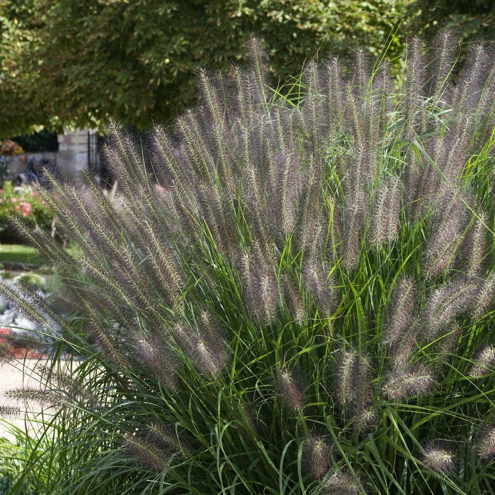 Pennisetum alopecuroides 'Moudry'
