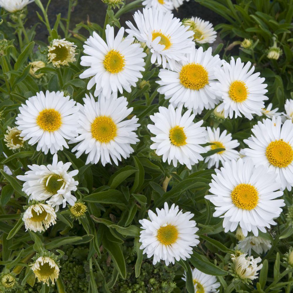 Aster nain de printemps blanc