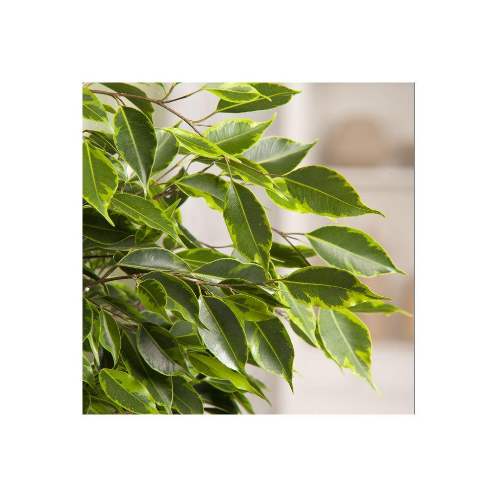 Ficus 'Anastasia' tressé