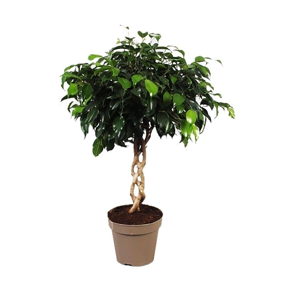 Ficus 'Danielle' tressé