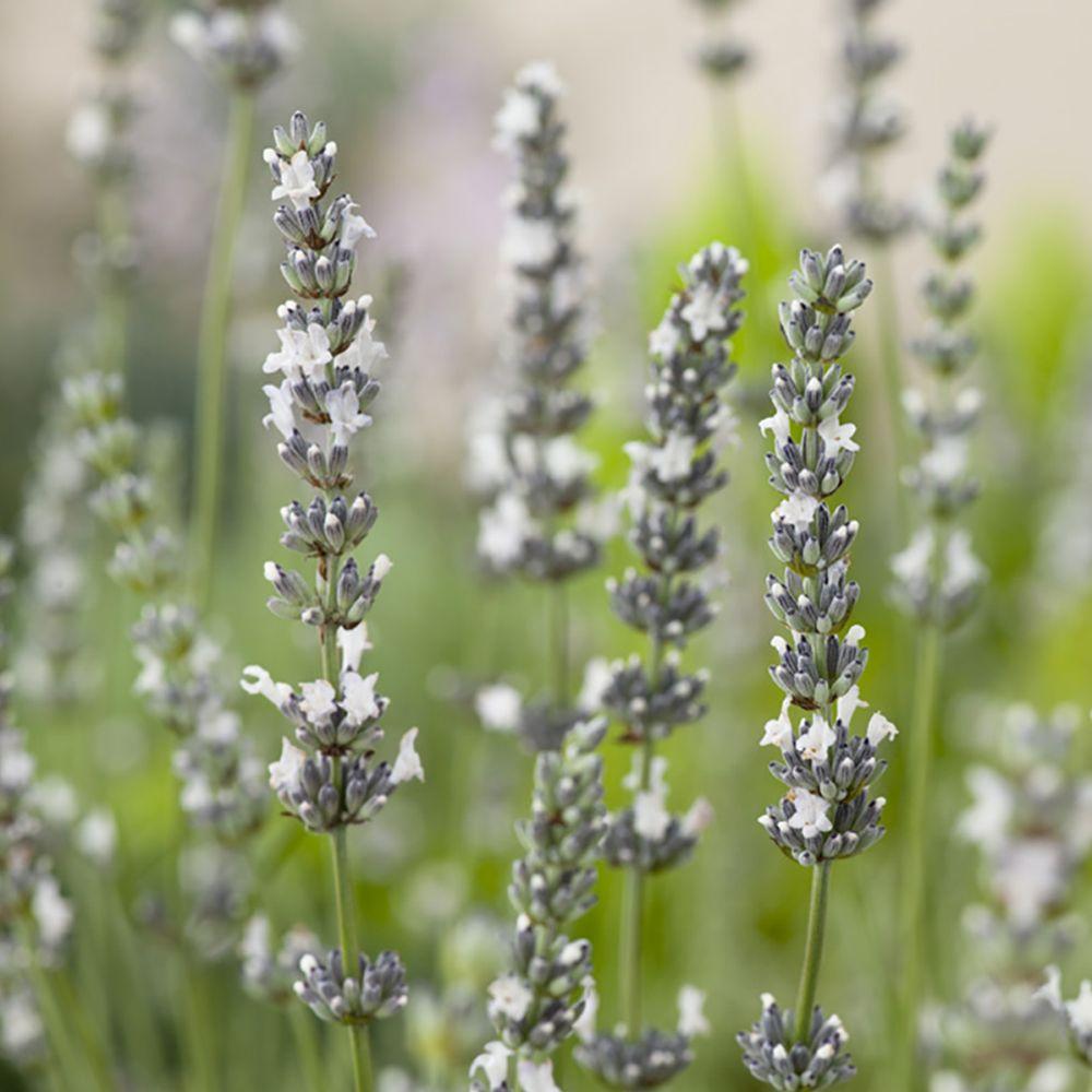 Lavande blanche Edelweiss - Lavandin Edelweiss