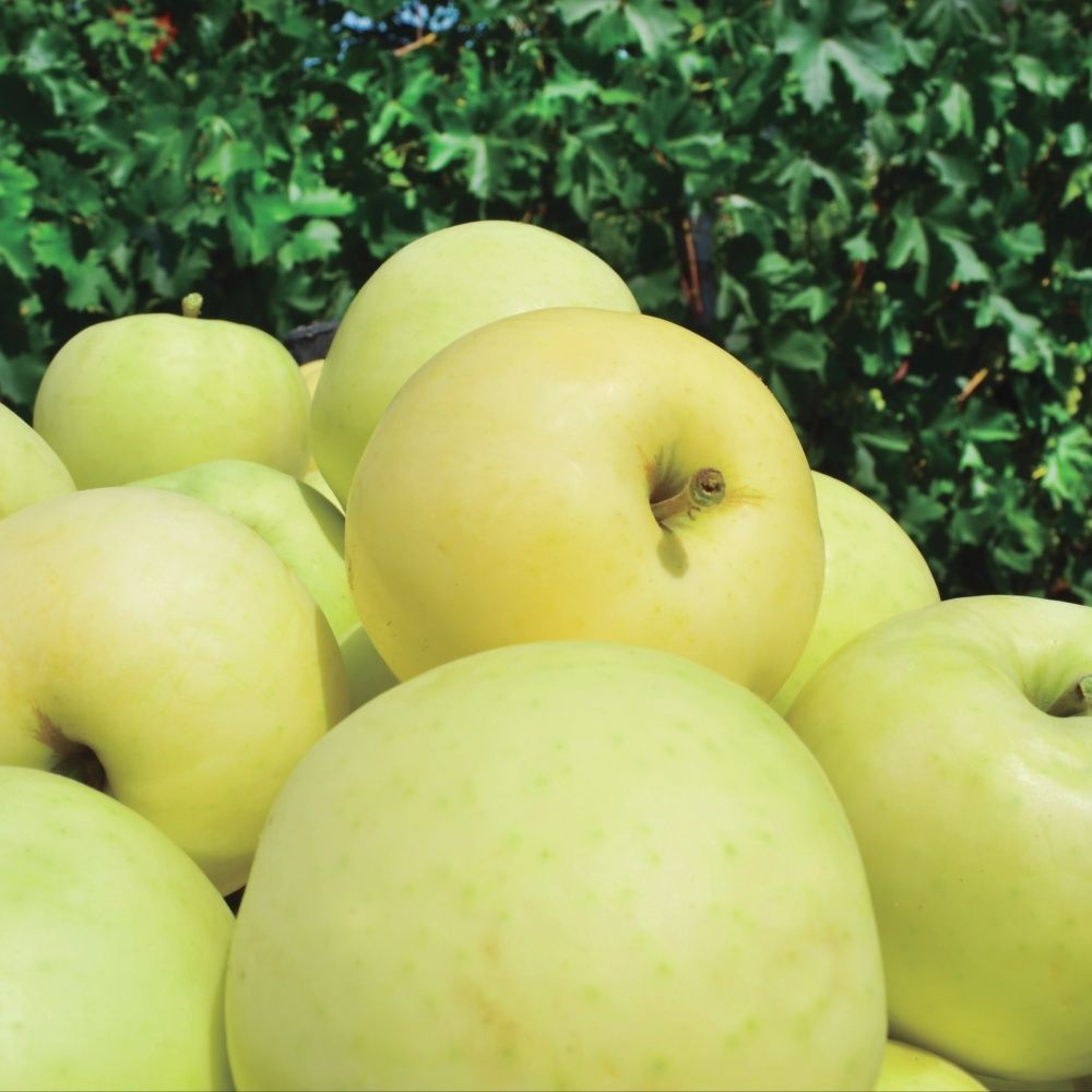 Pommier de balcon autofertile 'Apple Me Yellow Golden' - Fruit Me®