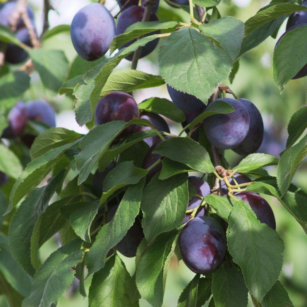Prunier de balcon 'Plum Me' - Fruit Me®