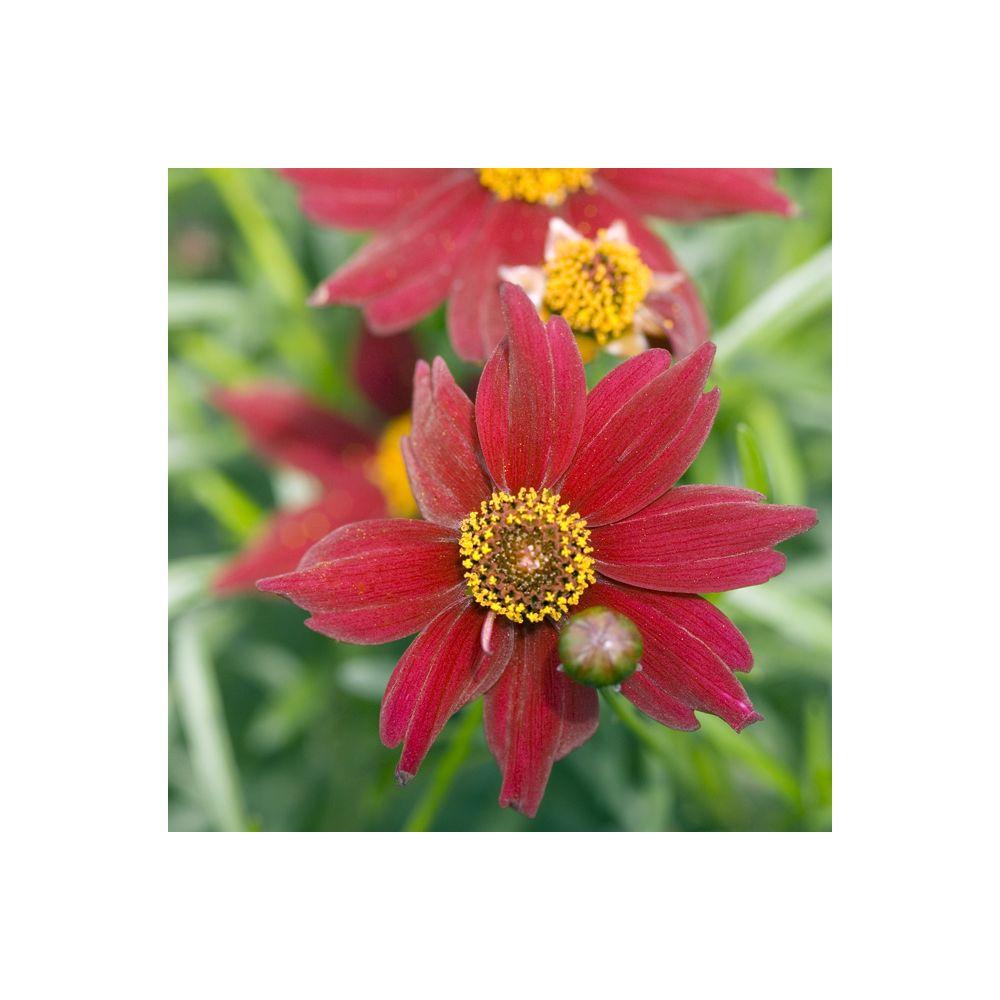 Coreopsis 'Limerock Ruby' ®