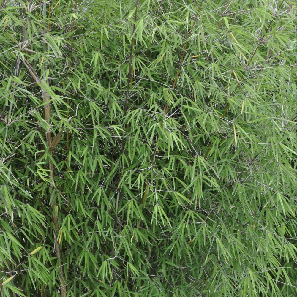 Bambou non traçant : Fargesia  'Angustissima'