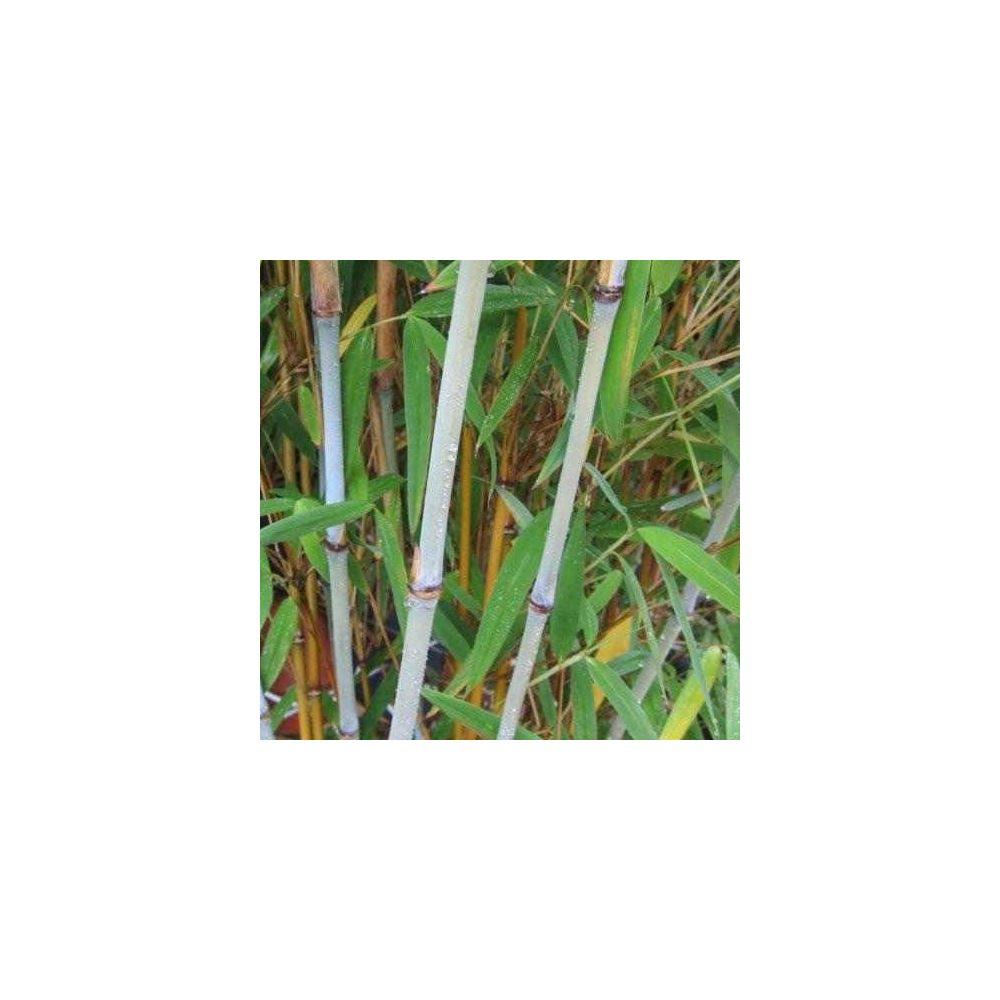 Bambou moyen : Fargesia 'Blue Dragon'