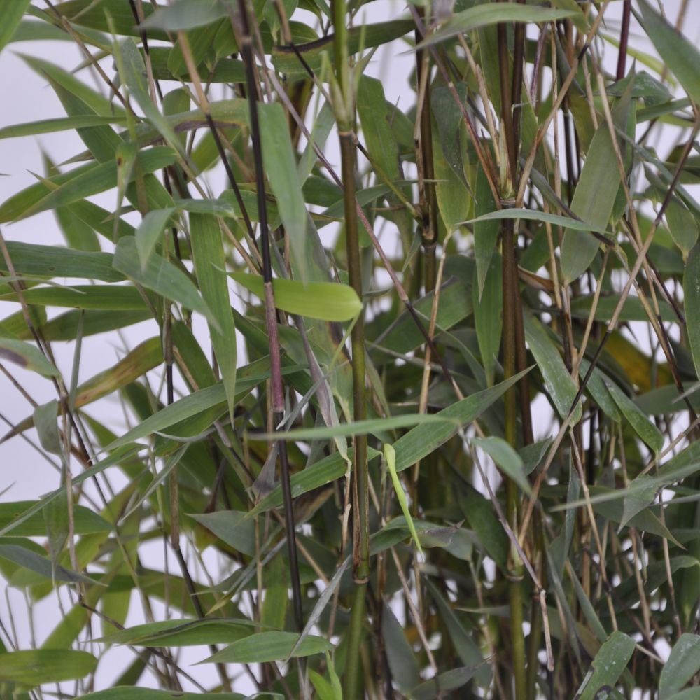 Bambou non traçant : Fargesia  'Red Dragon'