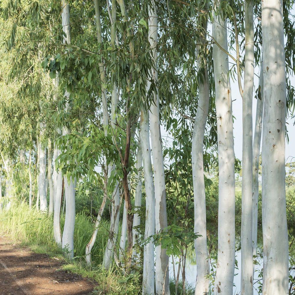 Eucalyptus dalrympleana Pot de 4 litres - Gamm Vert