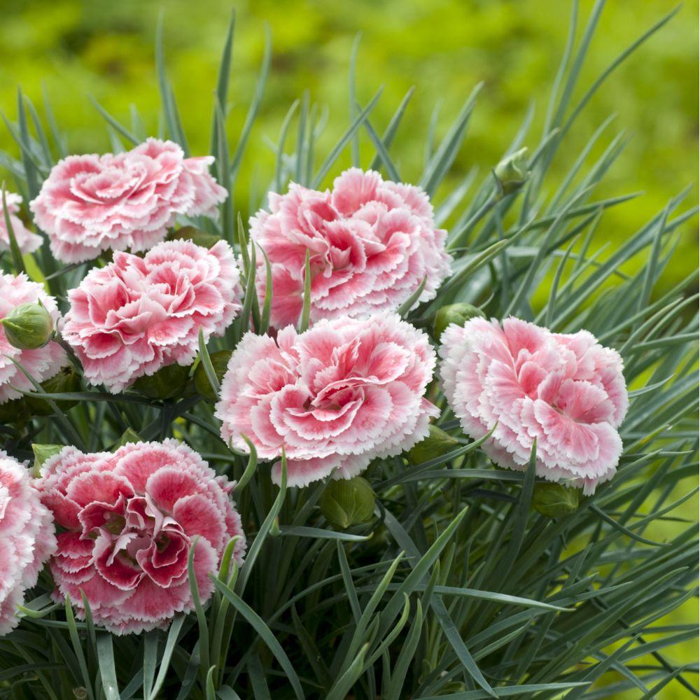 Oeillet mignardise couleur rose bordé blanc En lot de 3 godets de ...