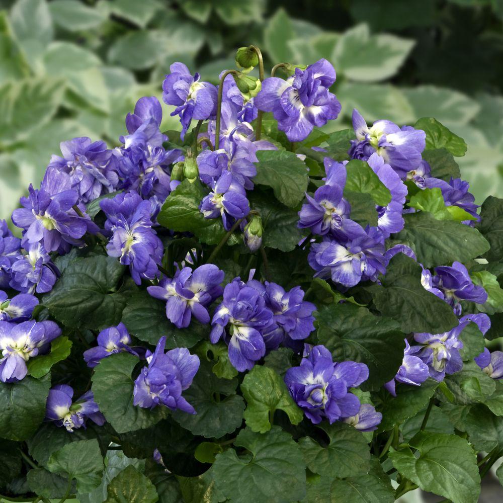 Jardinerie Pas Cher Toulouse violette de toulouse