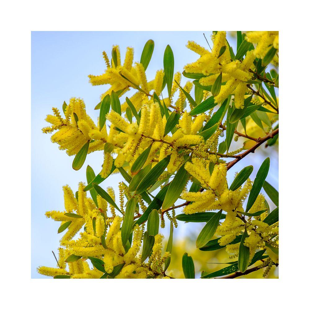Mimosa Chenille Acacia Longifolia Pot De 5 Litres Gamm Vert