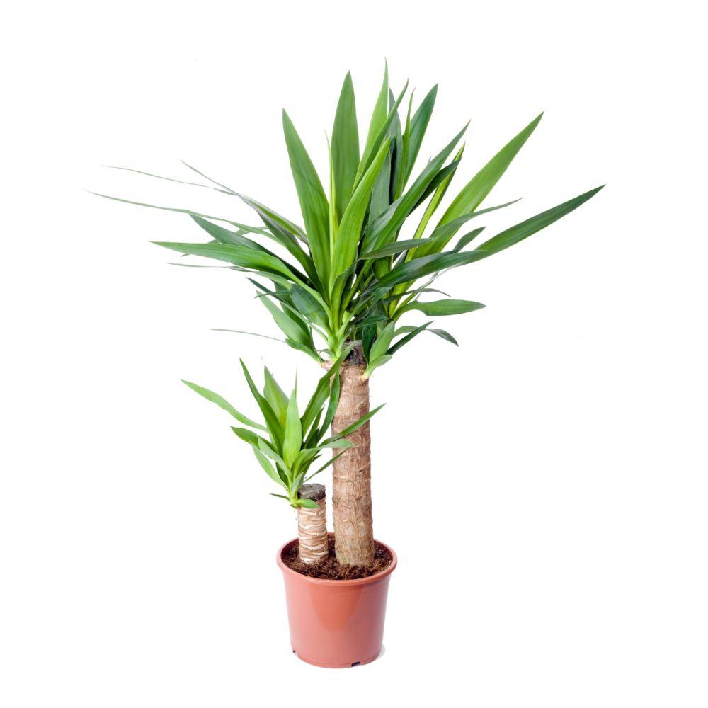 yucca 2 troncs en pot de 17cm hauteur 80cm gamm vert. Black Bedroom Furniture Sets. Home Design Ideas
