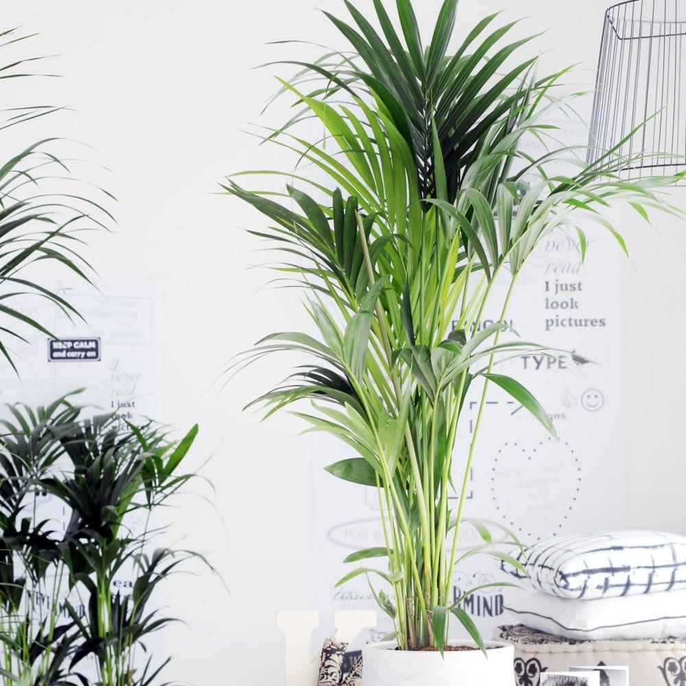 Palmier kentia howea forsteriana en pot de 17cm hauteur 80cm gamm vert - Plante de salon ...