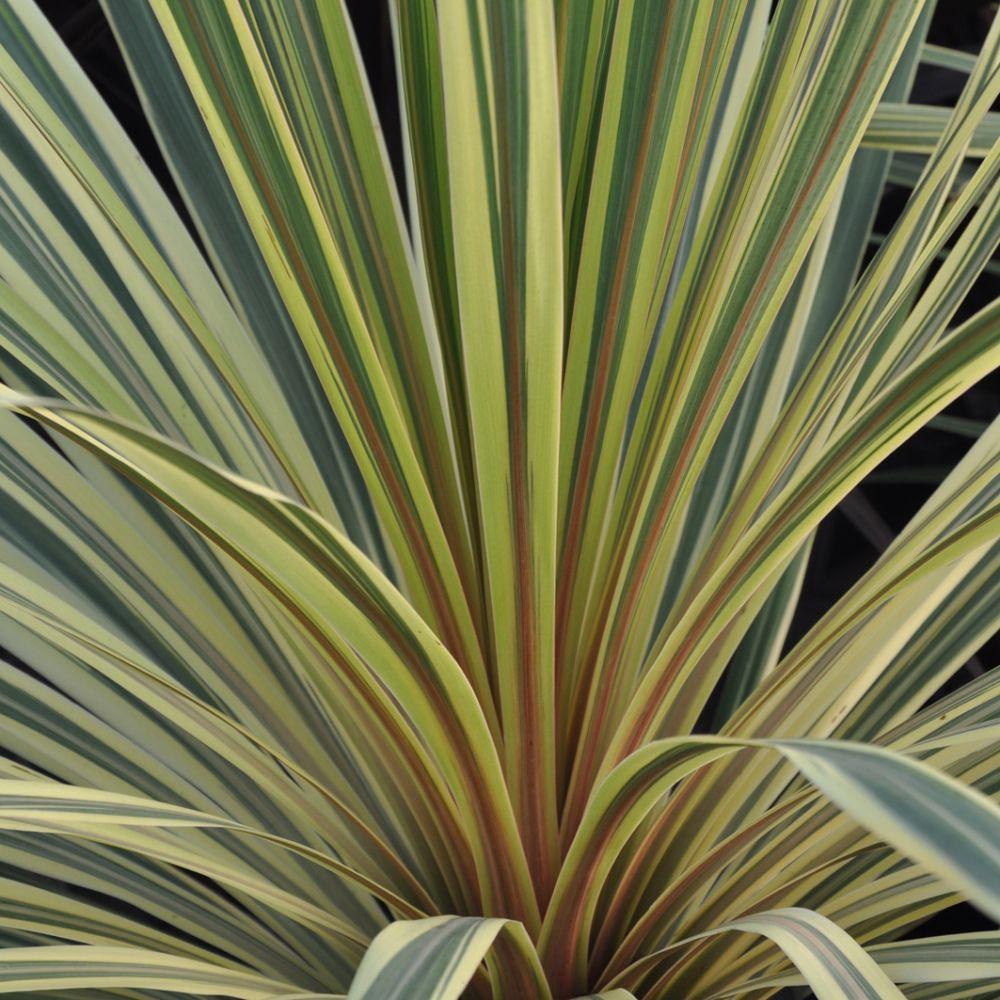 Cordyline australis Albertii