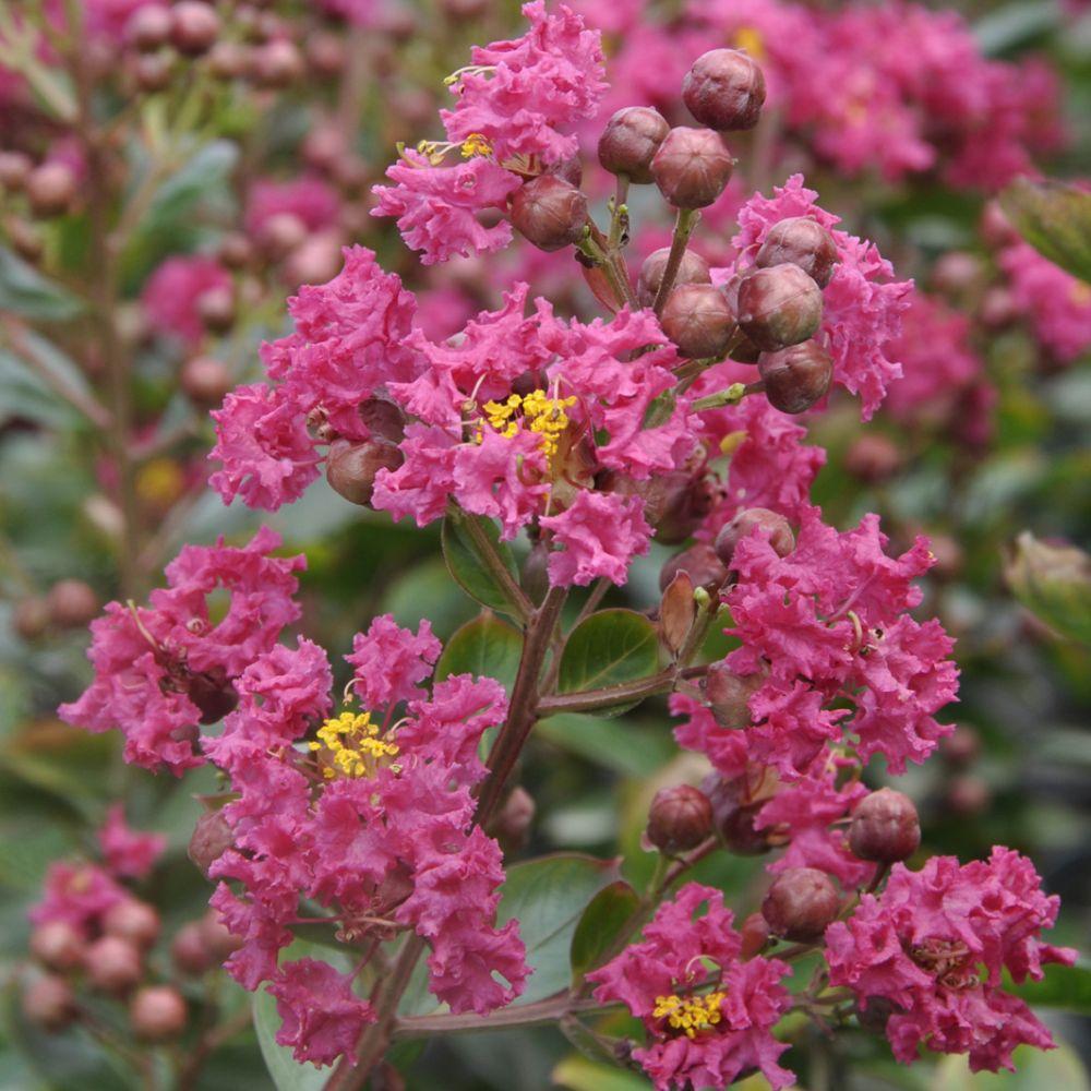Planter Un Lilas En Pot lilas des indes lagerstroemia fuchsia d'été