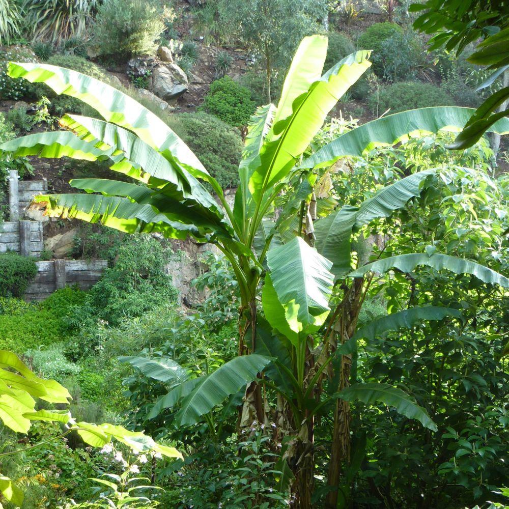 Bananier rustique - Musa basjoo