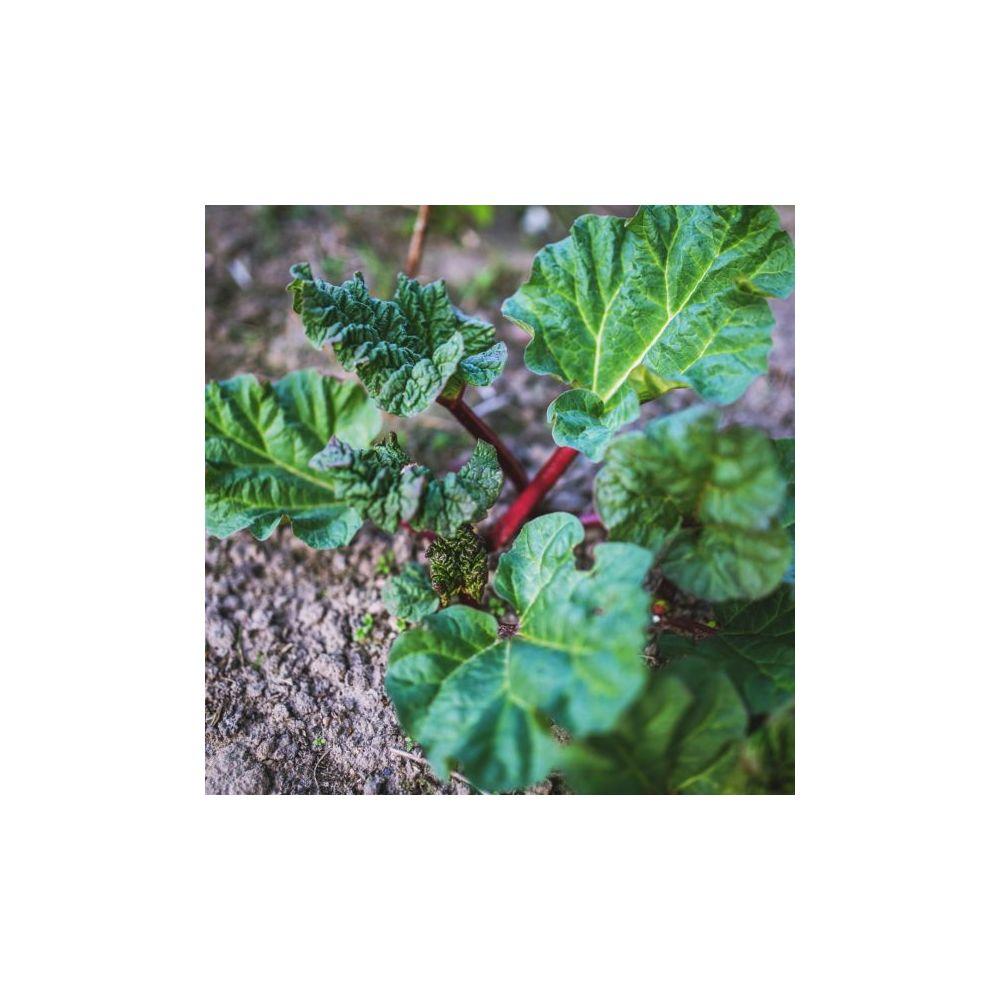 Rhubarbe à côtes