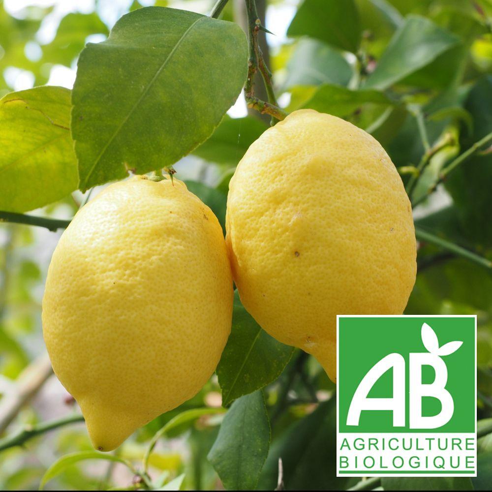 Citronnier 4 Saisons Bio