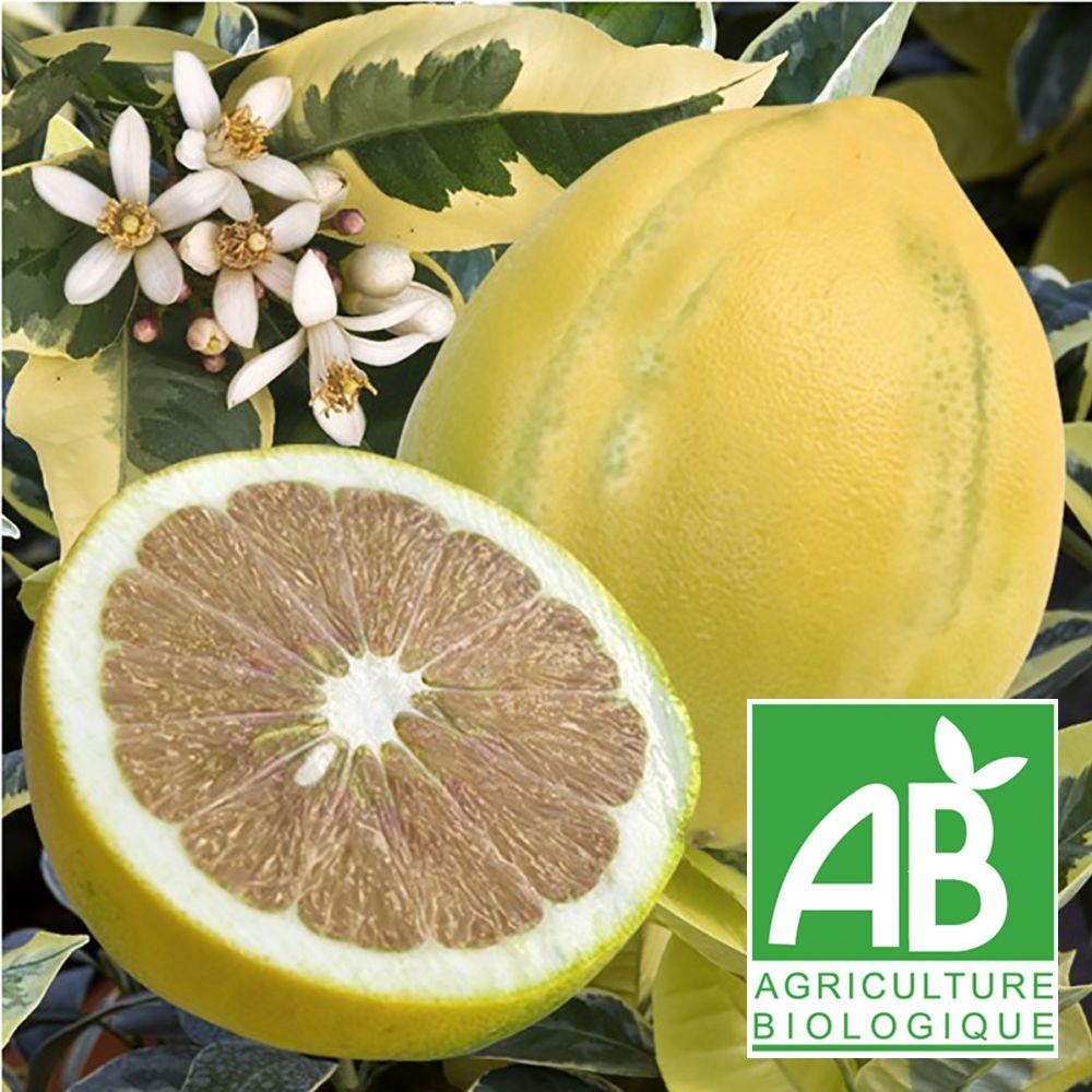 Citronnier Saisons Panache Bio