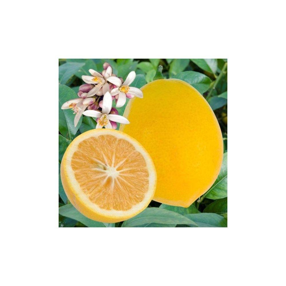 Citronnier meyer Bio
