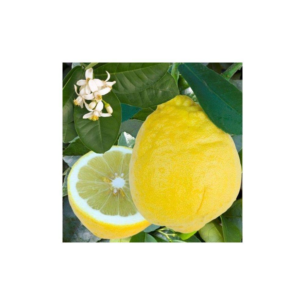 Citronnier Lime de Padou Bio