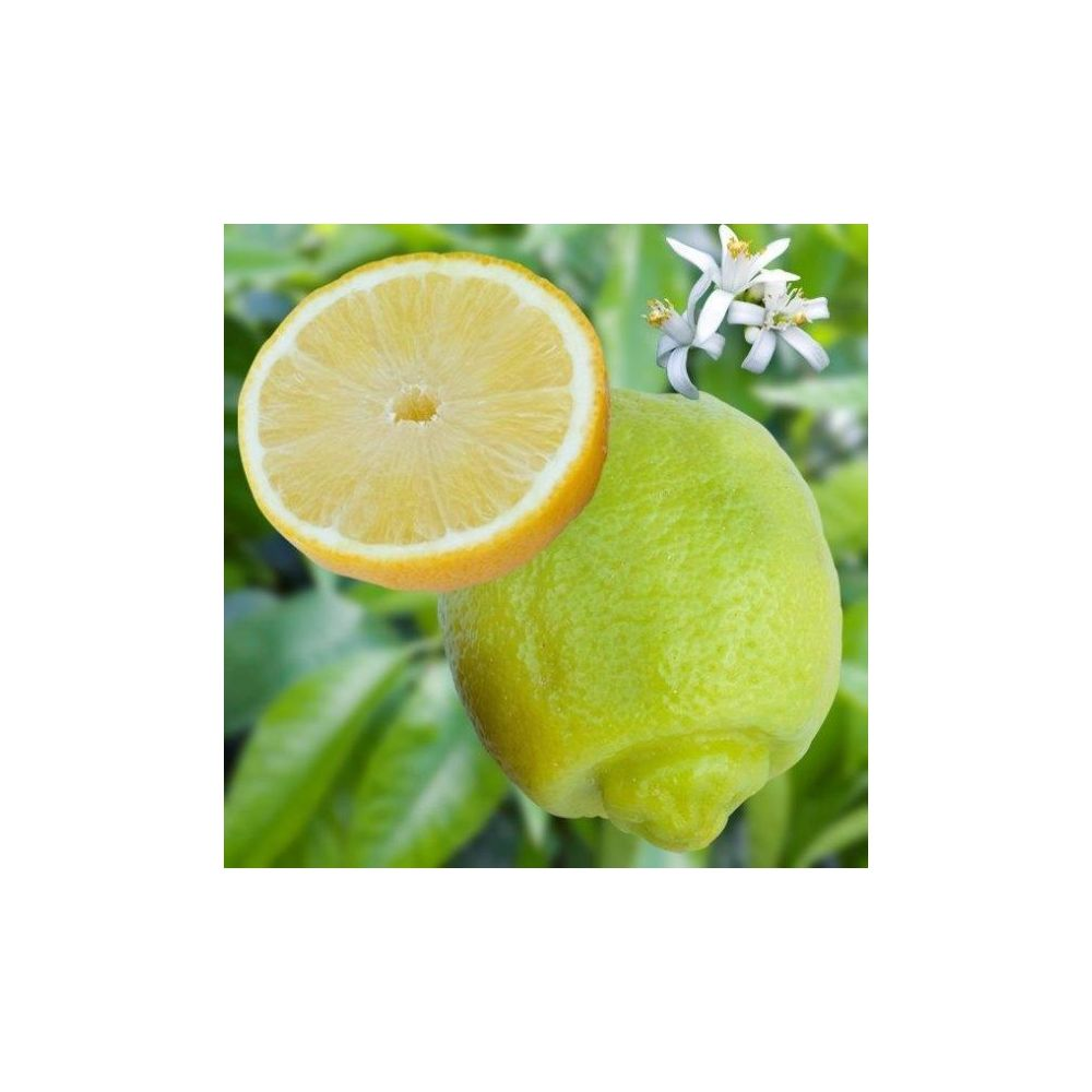 Citronnier Lime douce De Palestine Bio