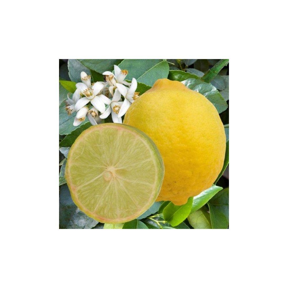 Citronnier Limemexicaine Bio