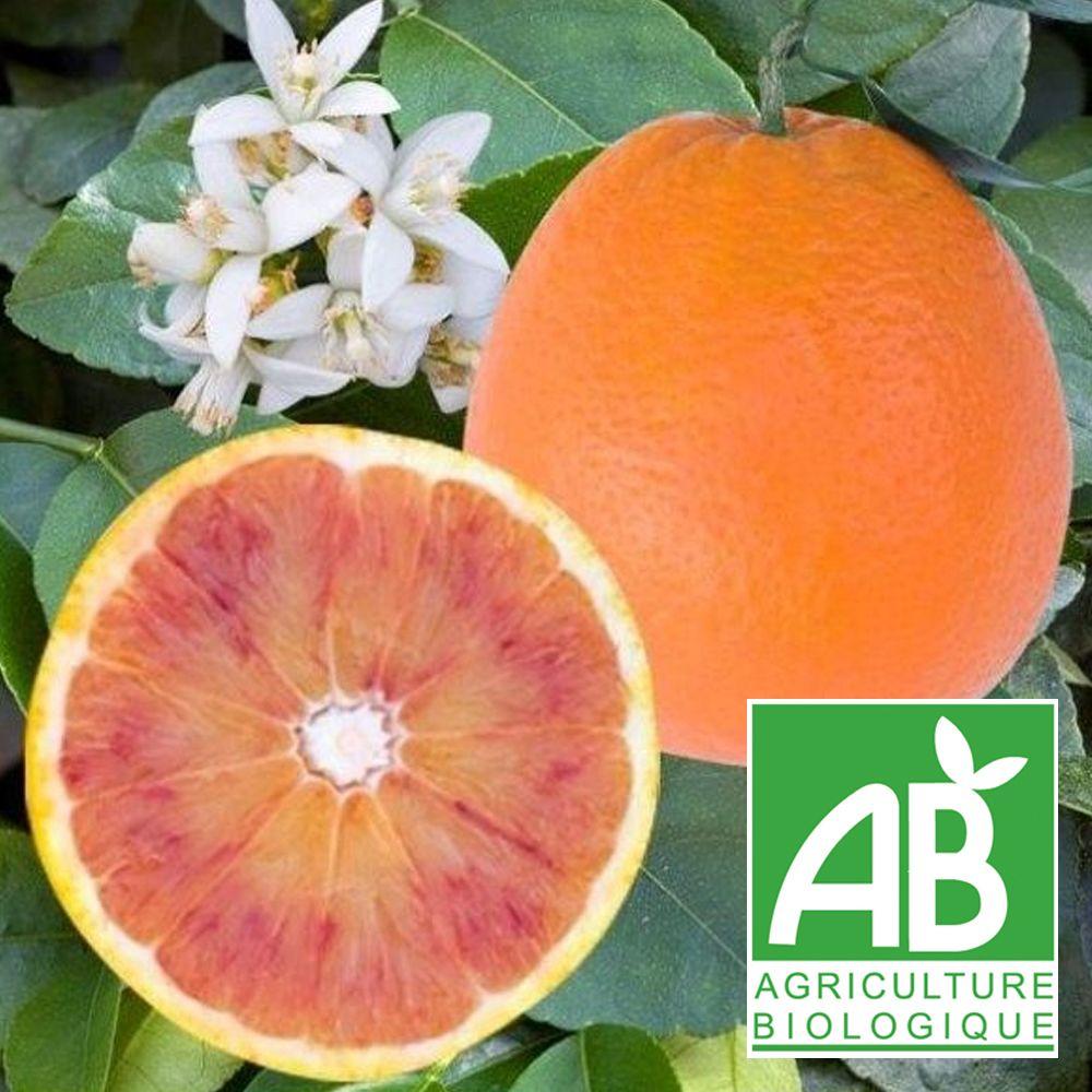 Arbre Fruitier En Pot Interieur oranger sanguine bio