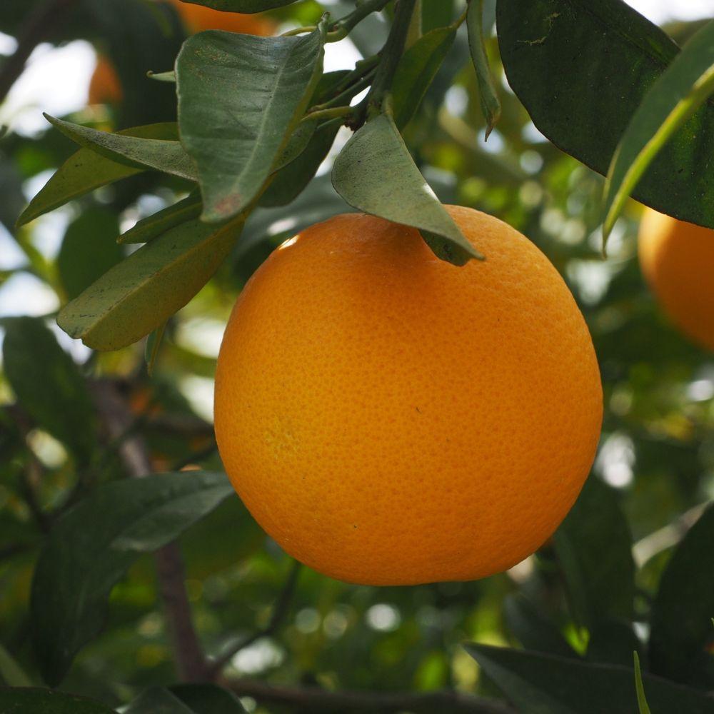 Oranger thomson Bio