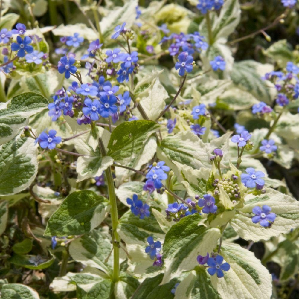 Fleur De Sous Bois Bleue brunnera feuillage panaché fleur bleu ciel