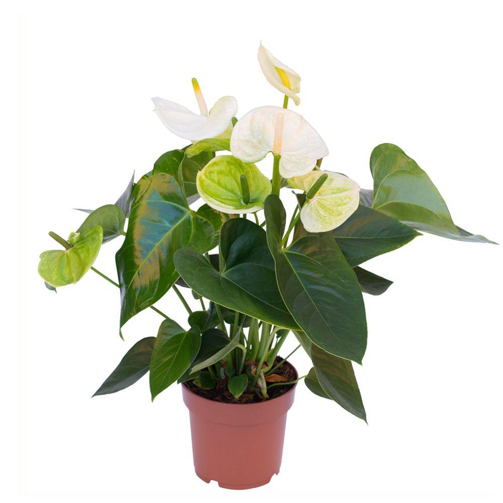 Anthurium royal White Champion