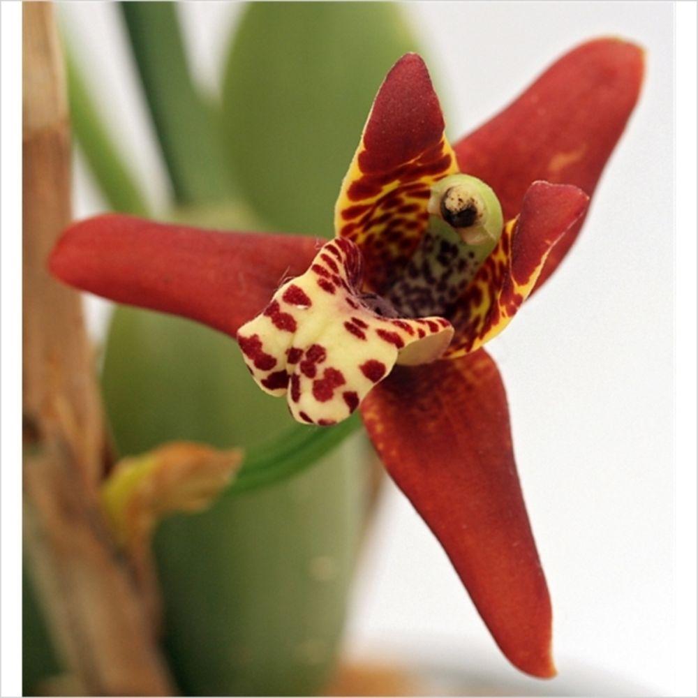 Comment Planter Une Orchidée orchidée de collection maxillaria tenuifolia