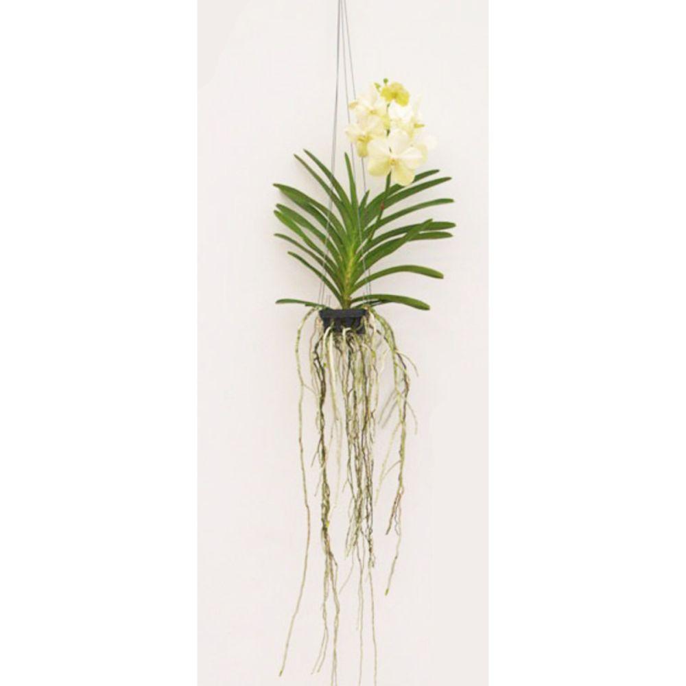 Orchidée Vanda White Ivoir